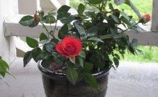Гусеницы на розах — чем обработать от вредителей