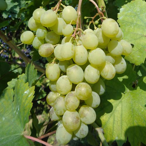 Сорт винограда мускат белый