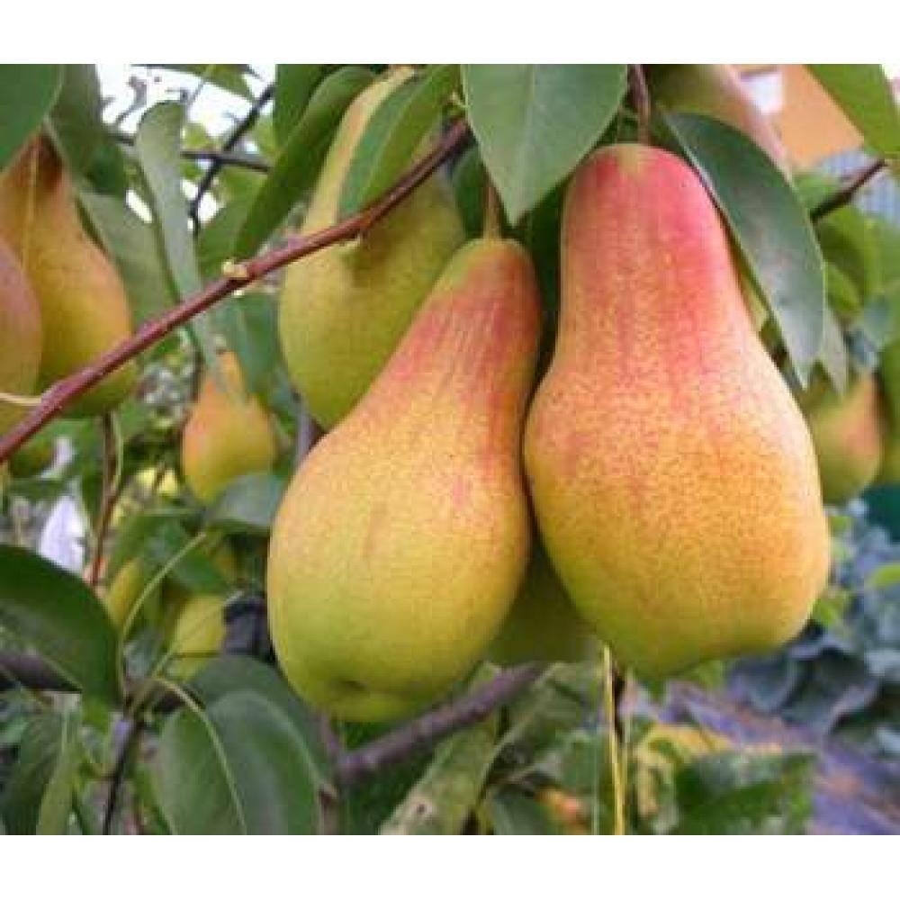 Полное описание сорта груши «талгарская красавица» — фото, видео, отзывы