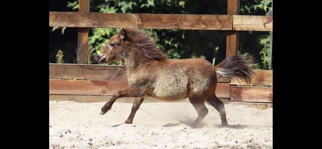 Миниатюрные лошади - miniature horse
