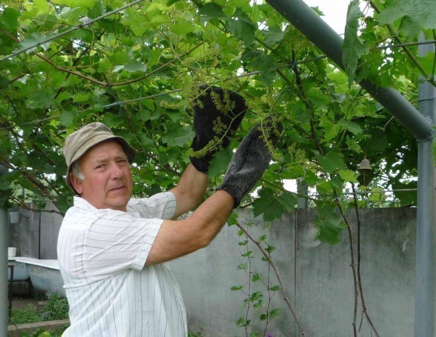 Почему осыпается виноград после цветения, не завязывается, не даёт кисти