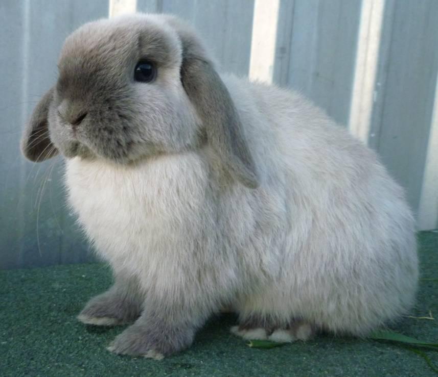 Кролик рекс: описание породы, особенности содержания и ухода