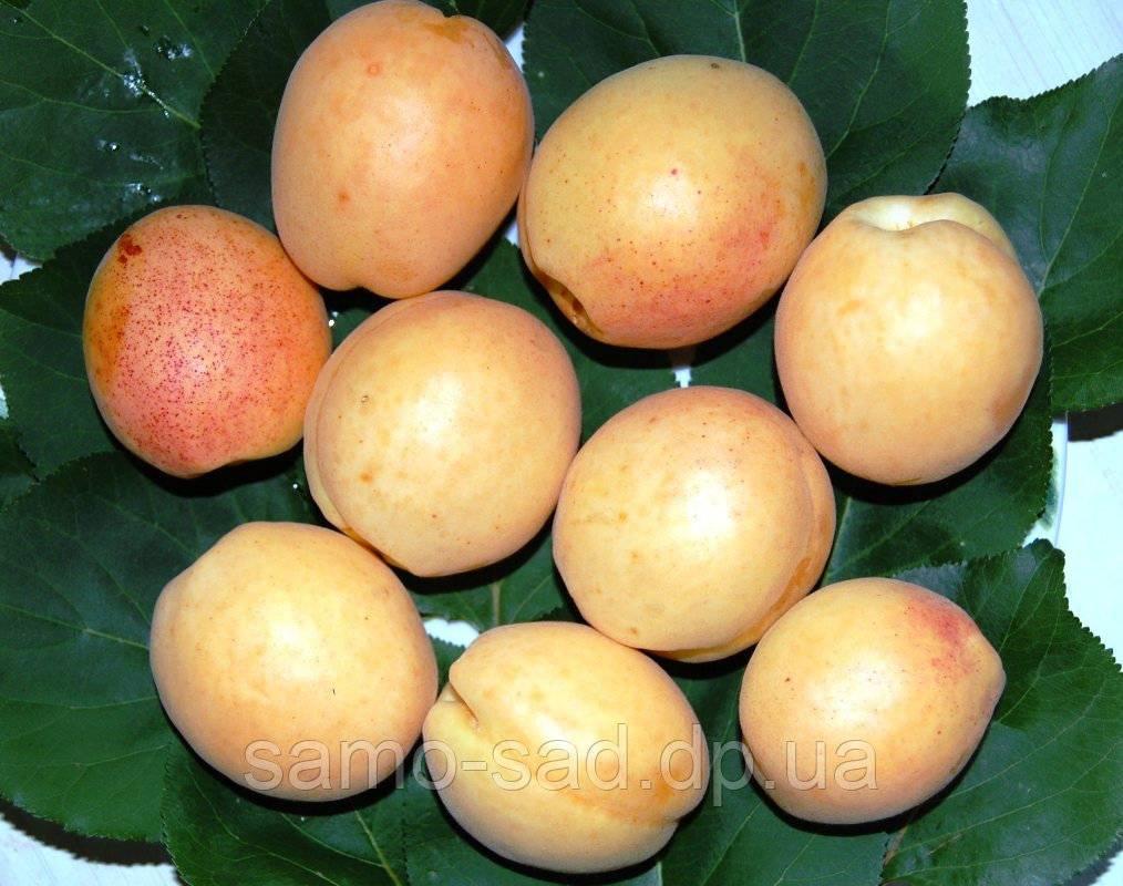 Абрикос ананасный: выращиваем в своём саду