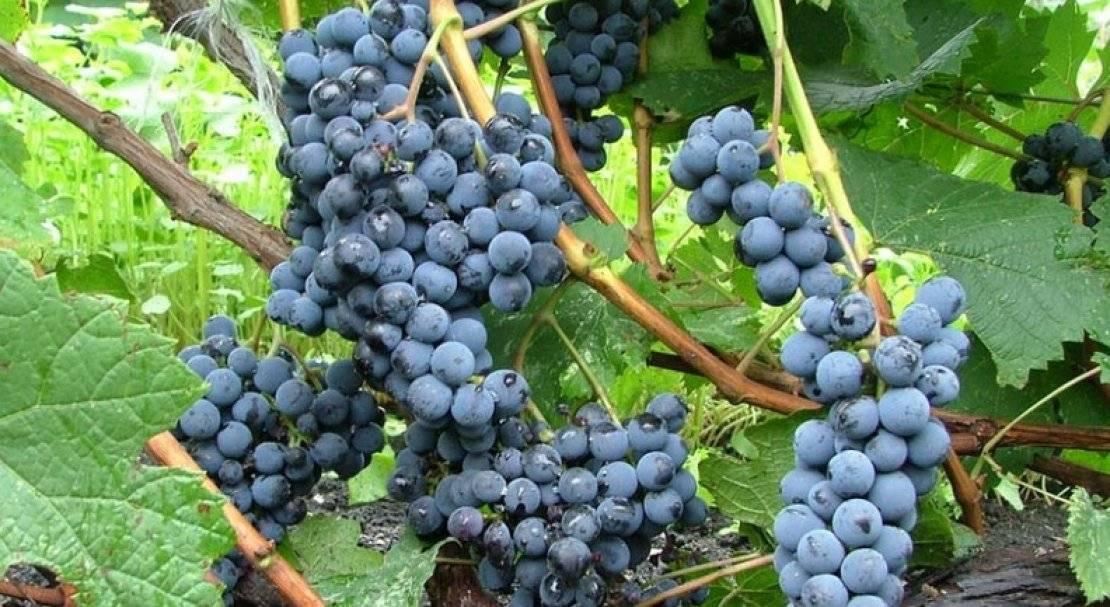 Описание винограда сорта Альфа: основные особенности, качества и недостатки