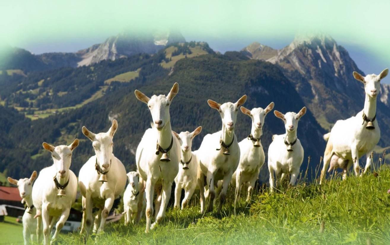 Зааненские козы: фото, описание и характеристика породы