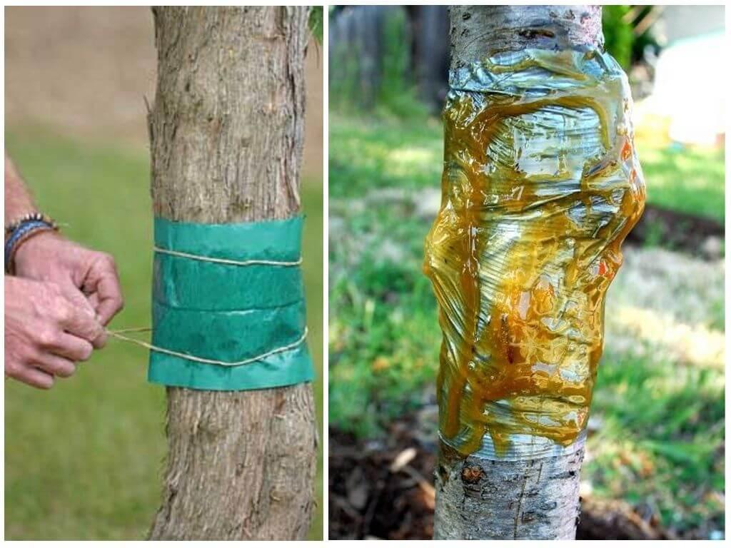 Как сделать ловчий пояс для плодовых деревьев своими руками — видео