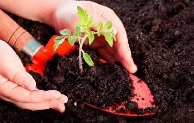 Монофосфат калия можно ли поливать рассаду