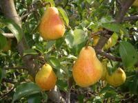 Обзор и особенности выращивания 6 лучших самоплодных сортов груши