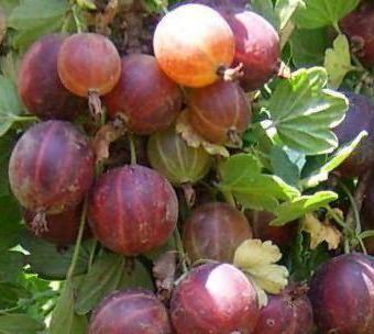 Крыжовник розовый 2: один из самых сладких и ароматных