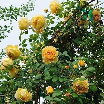 Роза голден селебрейшен: описание, особенности выращивания