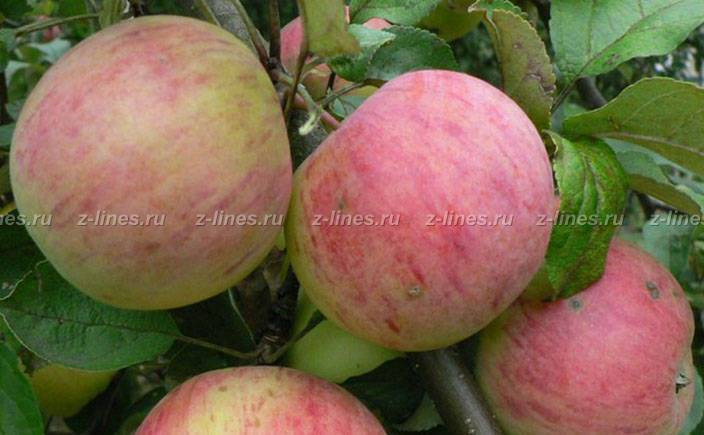 Сорт яблони бессемянка мичуринская