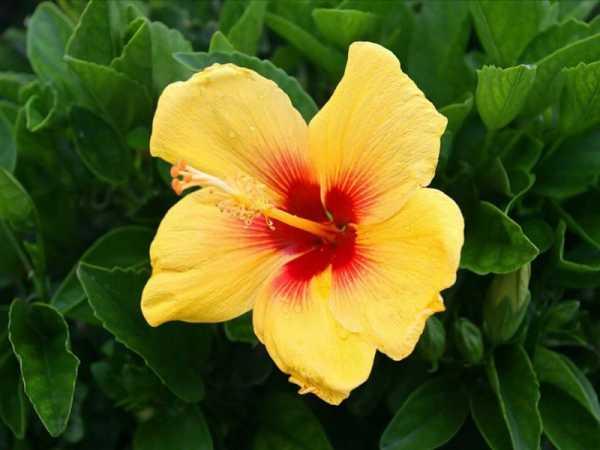 Гибискус садовый: правильная посадка и грамотный уход, фото. почему гибискус — цветок смерти, приносит ли он несчастье?