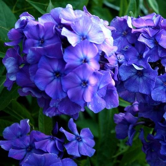 Синие и голубые флоксы