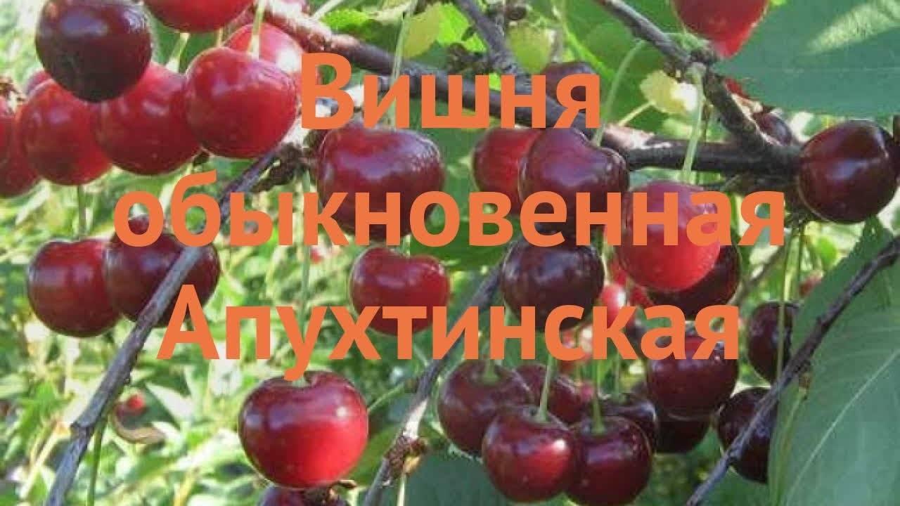 Описание и необходимые опылители для вишни сорта тамарис