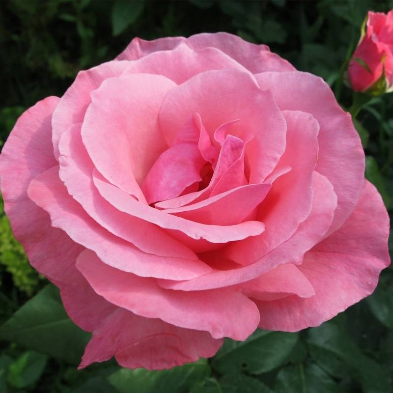 Роза королева елизавета — вечно молода и красива