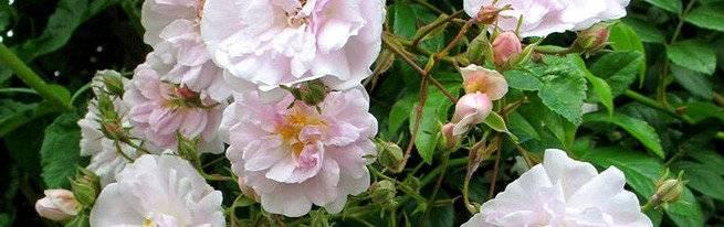 Посадка роз черенками весной