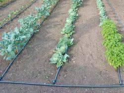 Как правильно поливать капусту