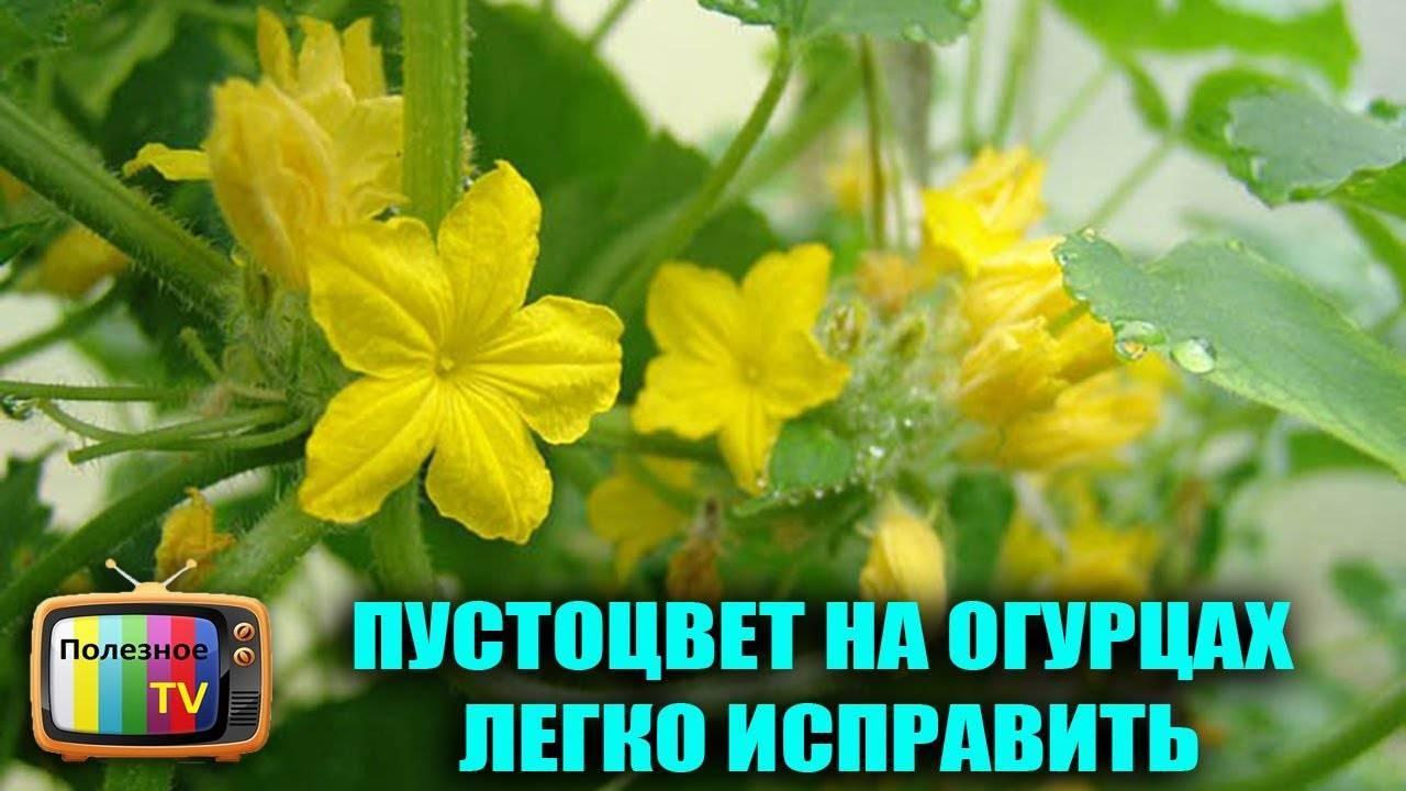 Об огурцах пустоцветах: что делать и почему, какими народными средствами полить