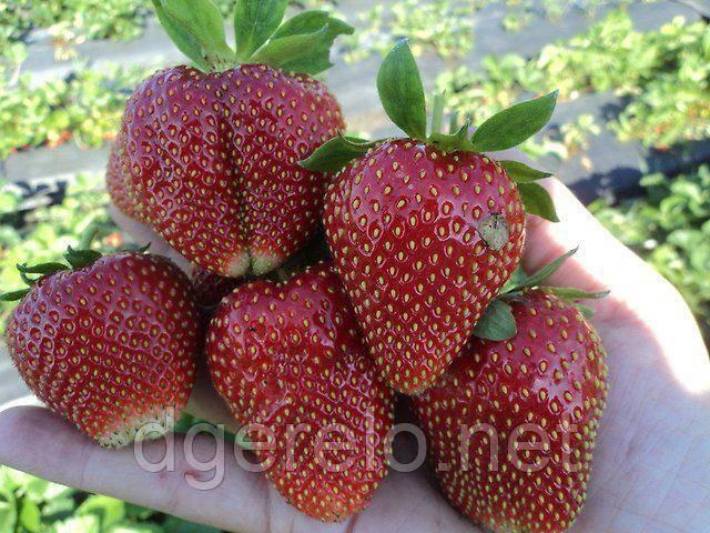 Клубника «азия»: описание сорта, агротехника выращивания