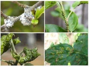 Чем обработать грушу от листовертки: методы борьбы с вредителем после цветения