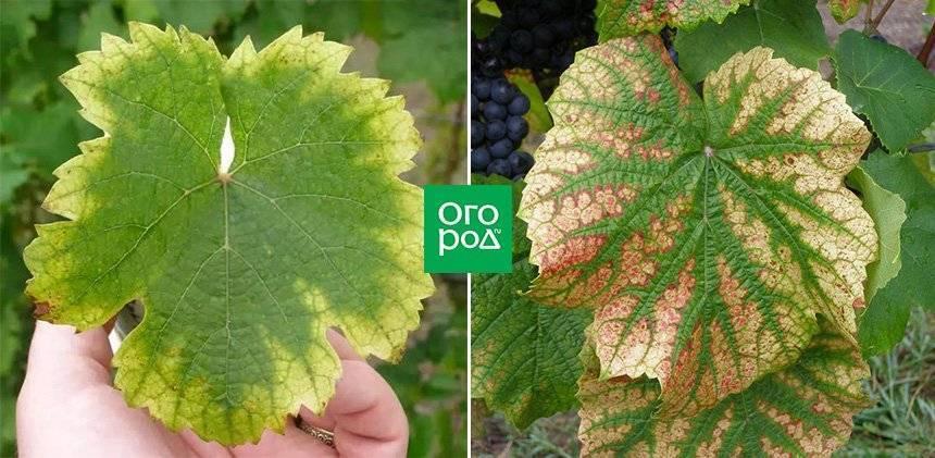 Скручиваются листья у винограда