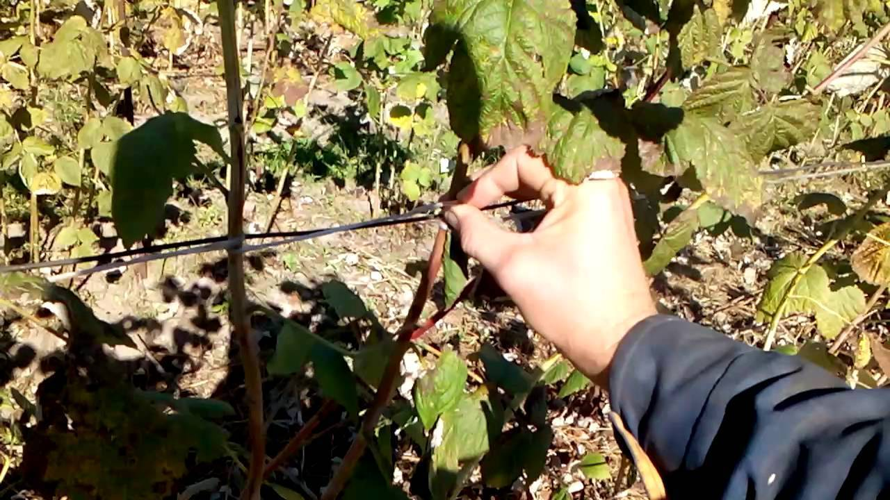 Приспособление для подвязки малины и ежевики » полезные самоделки - своими руками.