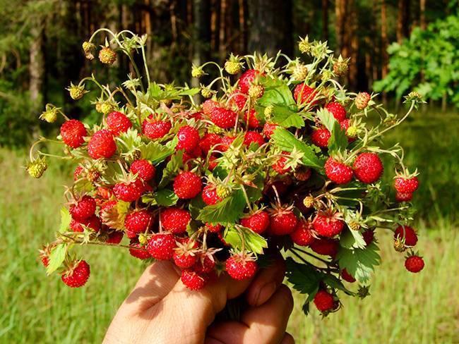 Посадка и уход за садовой земляникой: выращивание в открытом грунте, пересадка