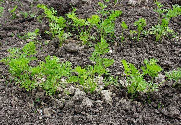 Сроки и правила посадки рассады цветной капусты