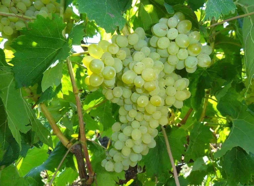 Сорта винограда красохиной: описание, агротехника выращивания
