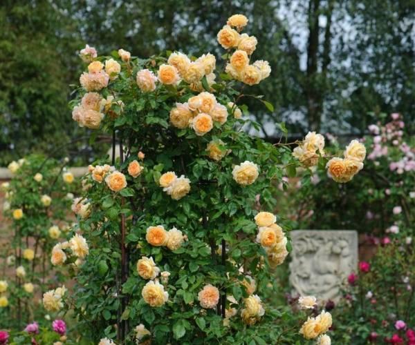 цветение розы маргарет фото отзывы презентации использованы фото