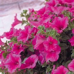 Петуния «джоконда f1»: особенности, виды и выращивание