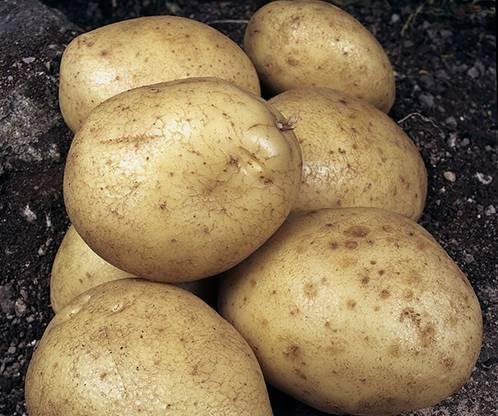 Картофель гулливер: описание и характеристика, отзывы
