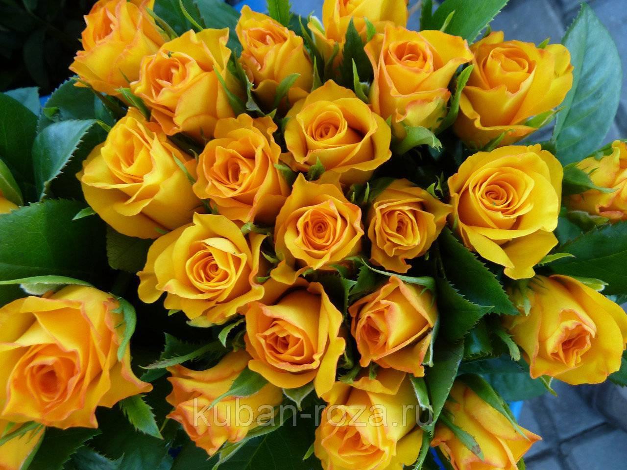 Роза керио фото и описание отзывы