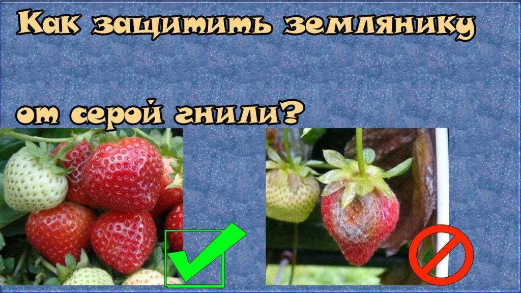 Серая гниль на овощах, фруктах и цветах: как бороться, чем обрабатывать и наносимый заболеванием вред
