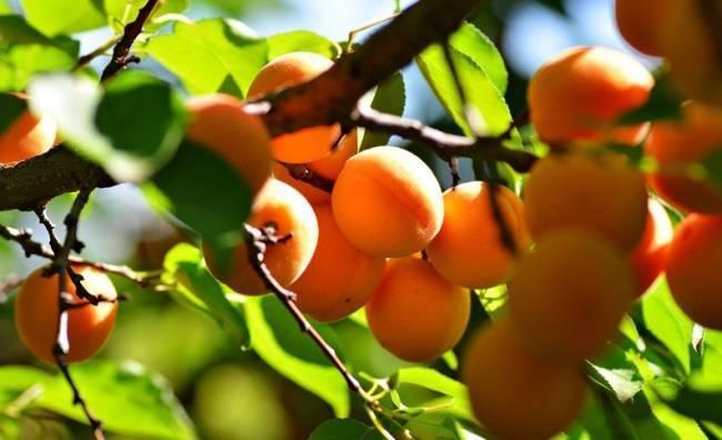 Чем подкормить абрикос осенью: самые популярные удобрения для косточковых