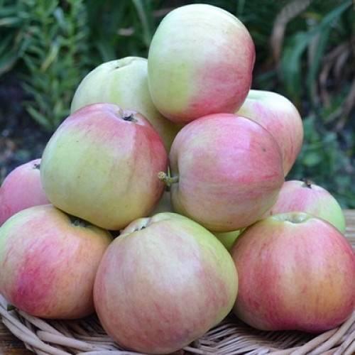 Сорт яблок ренет черненко: полное описание и все преимущества, фото