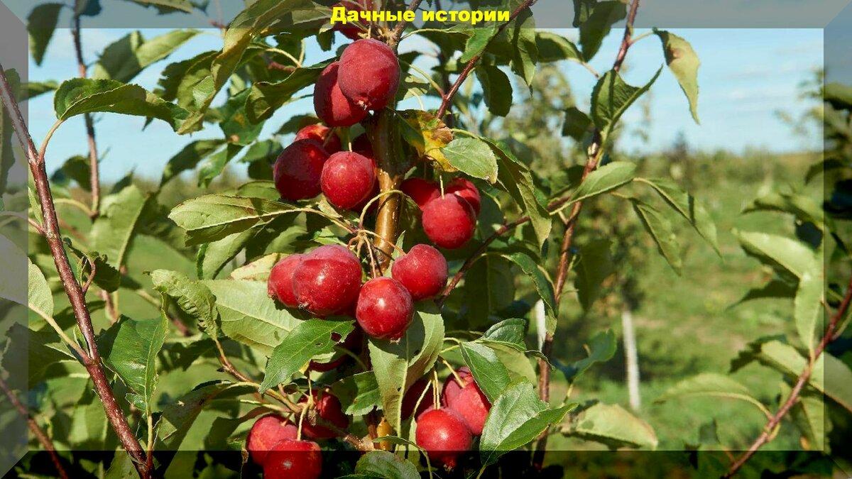 О яблоне Райской: описание и характеристики сорта, уход и выращивание