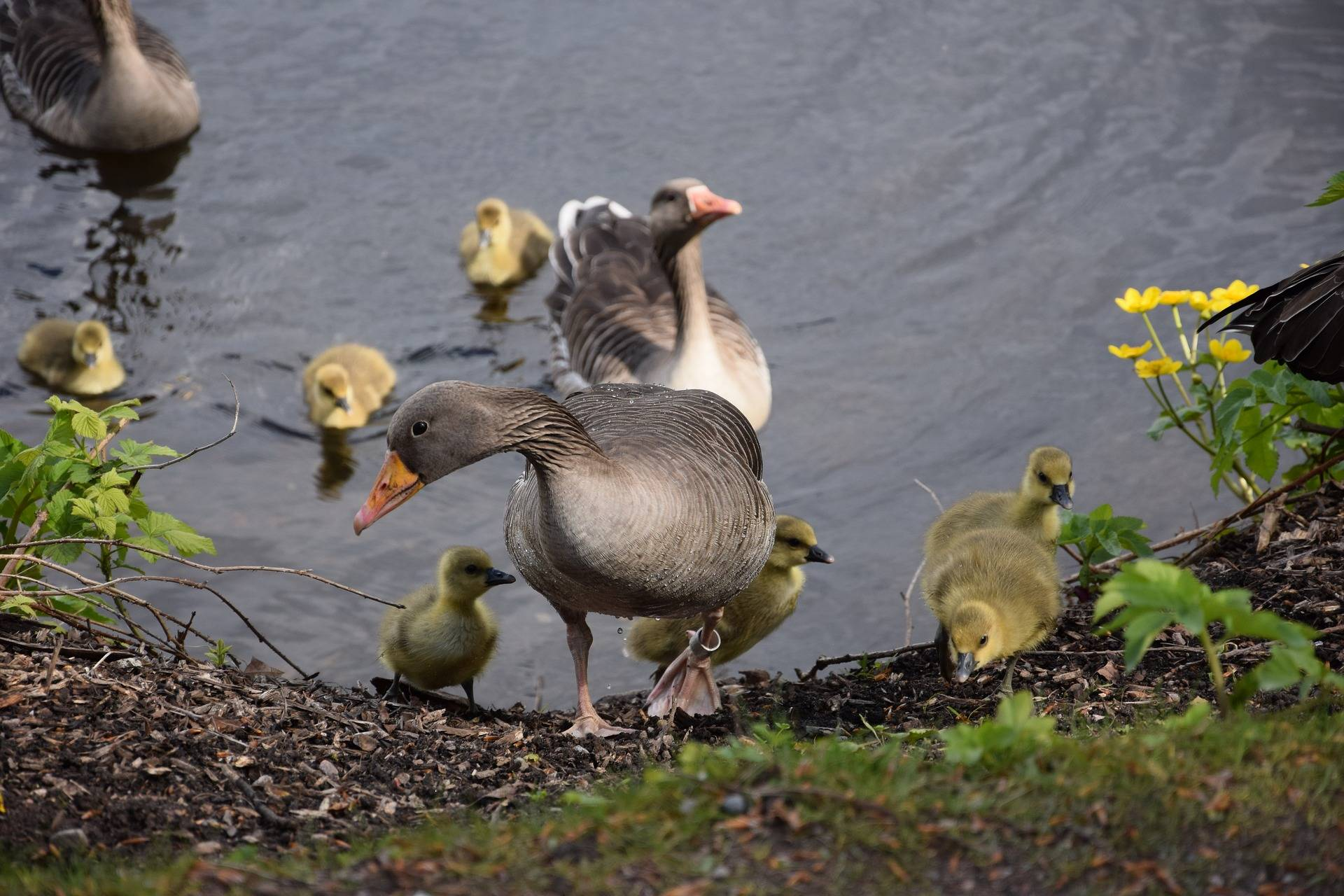 Содержание и выращивание гусей в домашних условиях для начинающих