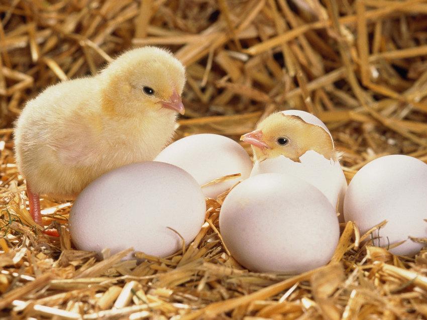 Выращивание цыплят в домашних условиях: натуральные продукты для всей семьи