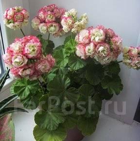 Пеларгония apple blossom rosebud: изучаем по порядку