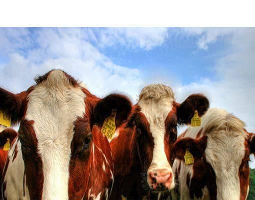 Как вылечить мастит у коровы народными средствами
