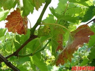 Краснуха винограда: лечение и причины возникновения болезни, почему краснеют листья и появляются пятна, что с этим делать?