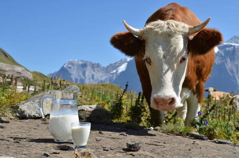 Сколько корова дает молока в день? среднее количество литров за сутки зимой и летом. как увеличить надой? каков средний удой за одну дойку?