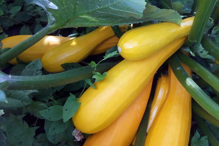 Посадка и выращивание кабачков. уход за кабачками в открытом грунте