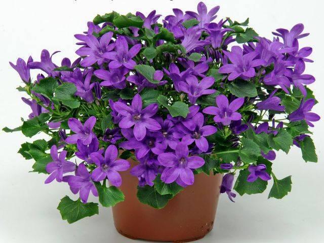 Разновидности многолетних цветов, которые цветут все лето