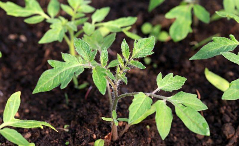 Что делать если у рассады томатов желтеют листья?