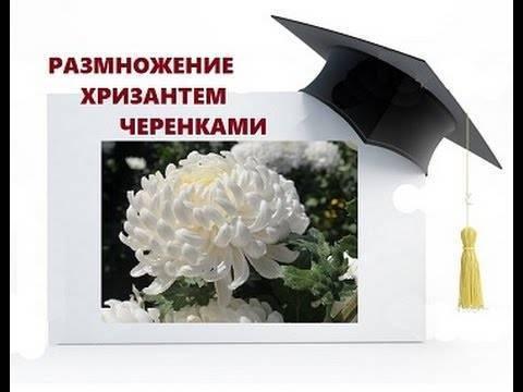 Размножение хризантемы осенью: метод черенкования
