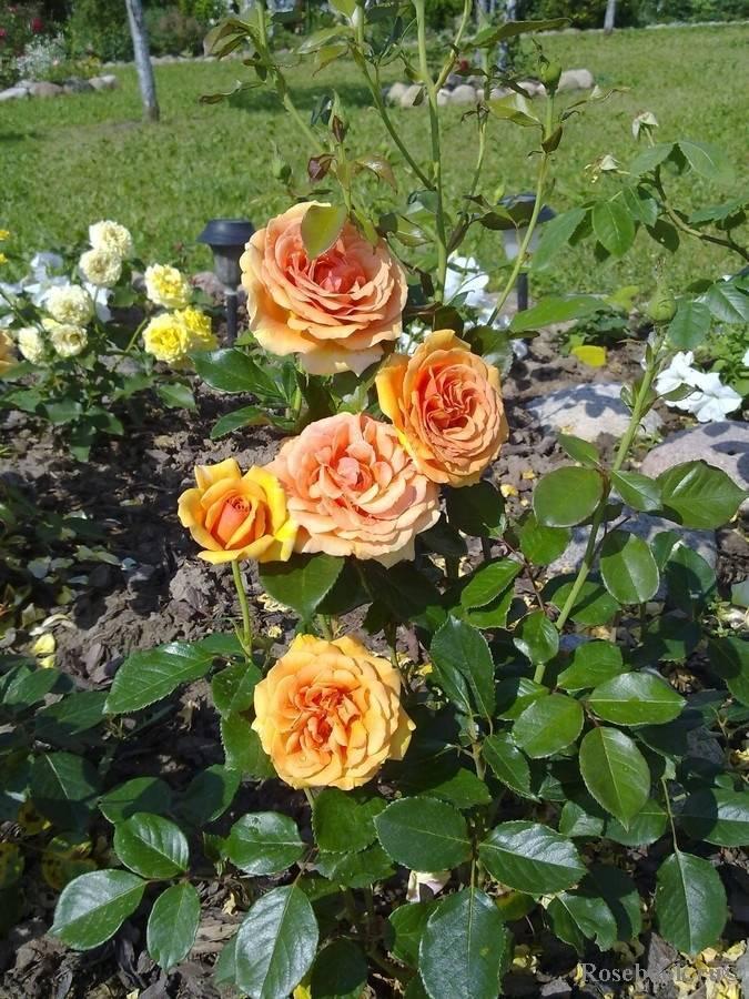 Чайно-гибридные розы ашрам: описание, фото, цветение, размножение и уход