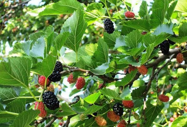 Шелковица в средней полосе россии: тонкости выращивания и лучшие сорта