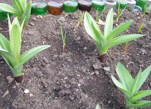 Лук суворова: описание, полезные свойства, выращивание
